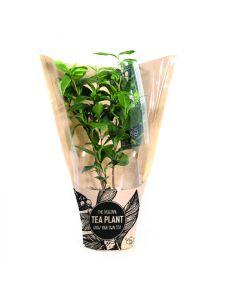 LocalTea® Theeplant - Camellia sinensis in vensterhoes-Per 24