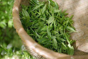 Theeplant: zelf thee kweken
