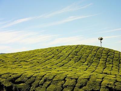 Wat is witte thee
