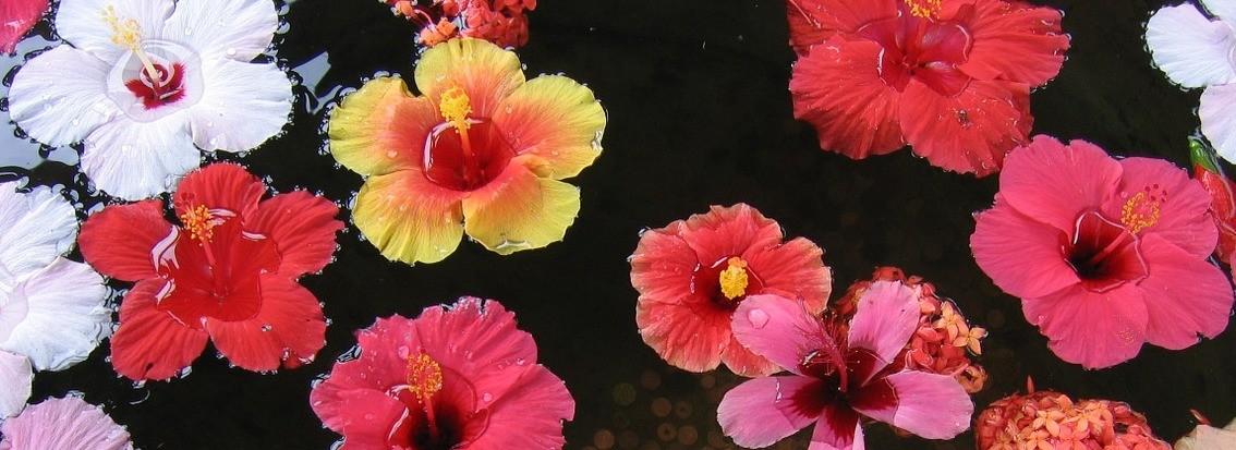 Hibiscus thee theebloem