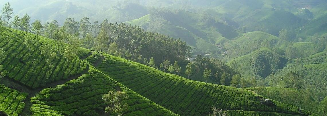 Thés de la Pagode - thee plantage